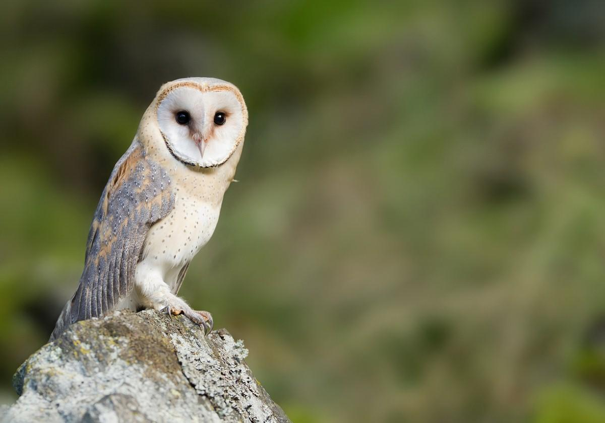Barn owls could hold the key to treating deafness in the elderly