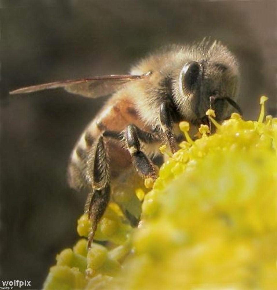 Could bees hold clues to beating dementia?