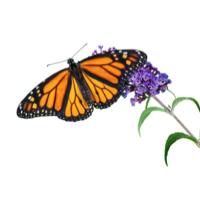 HURST butterfly